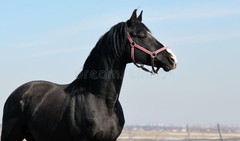 Mustanga czarny portret