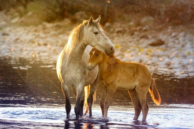 Mustangos de la potra de la madre y del bebé en el río Salt, Arizona fotos de archivo libres de regalías