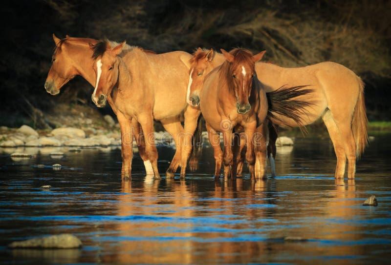 Mustangos de los caballos salvajes en el río Salt, Arizona fotografía de archivo