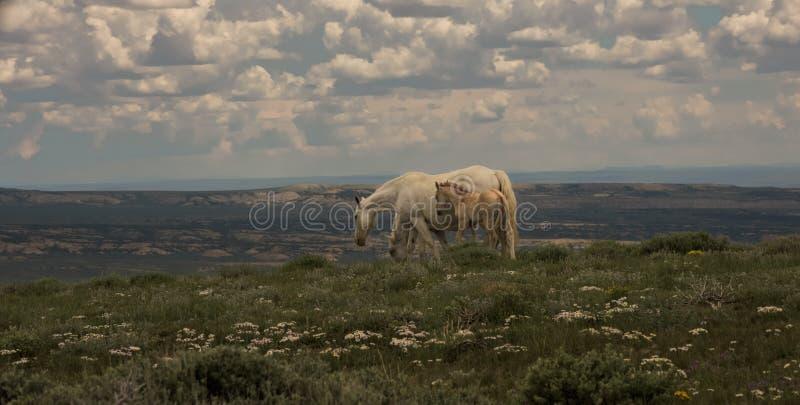 Mustangos salvajes madre y montaña del puesto de observación del bebé, lavabo de Sandwash, Colorado foto de archivo libre de regalías