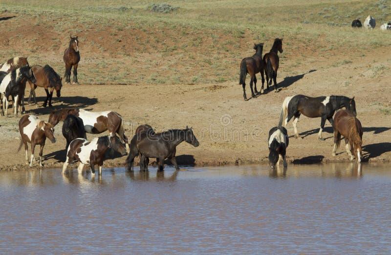 Mustangs, die in einer Wasserstelle waten lizenzfreies stockbild