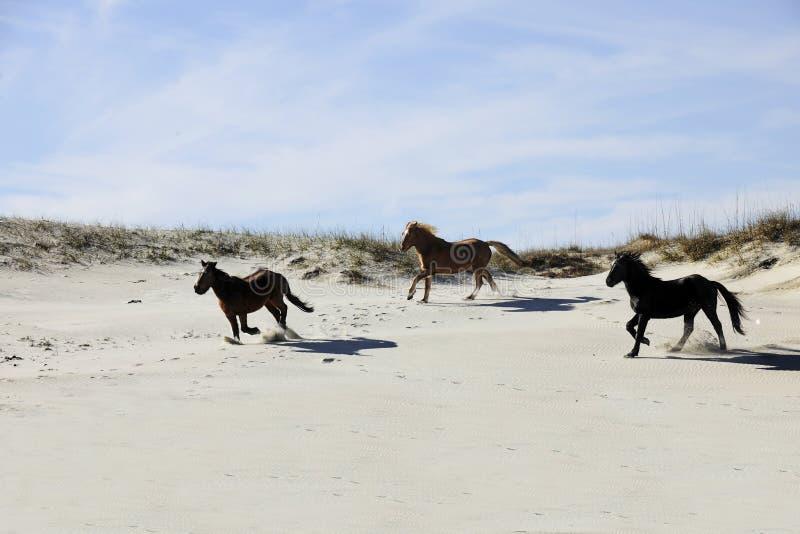 Mustangs, die unter Sanddünen laufen stockbilder