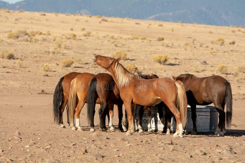 Mustangs door de watertank royalty-vrije stock fotografie
