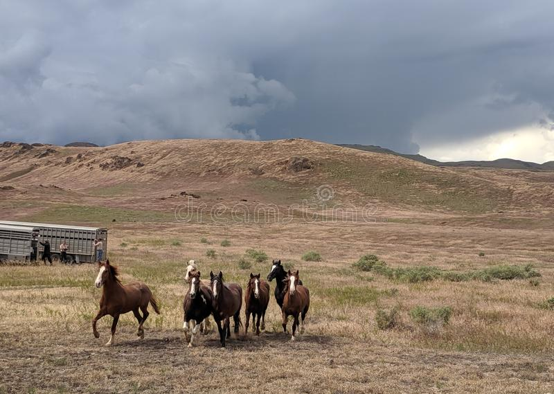 Mustangs return to freedom in desert with storm clouds behind them. Mustangs return to freedom in desert with storm clouds royalty free stock photo