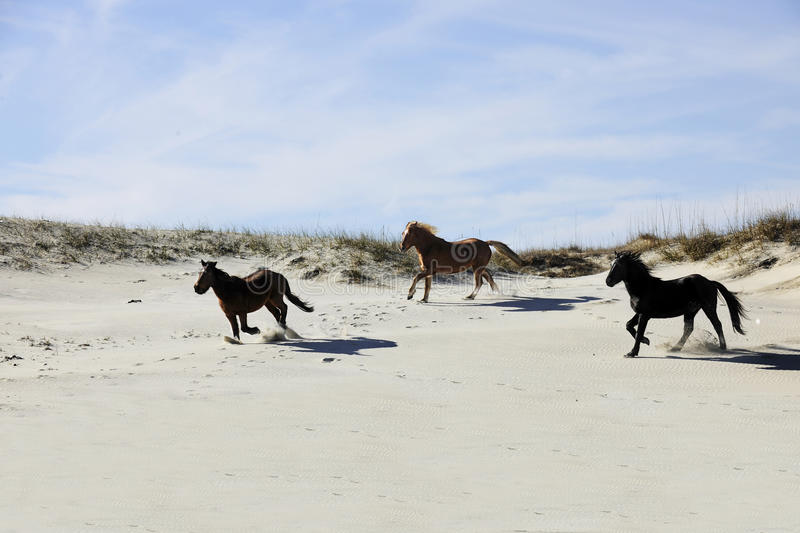 Mustangs Running among Sand Dunes. Three wild mustangs of Spanish descent running among North Carolina's Outer Banks sand dunes stock images