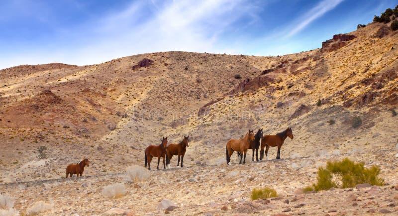 Mustangs sauvages sur la route images stock