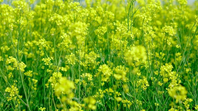 Mustard farming at a field stock image