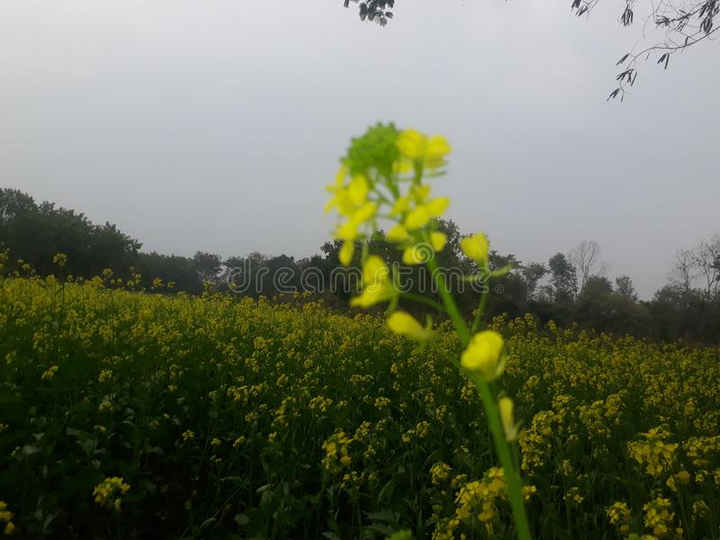 Mustard field with fresh green plants. This temple is of Lord Shiva. It is located in Siwan district of Bihar state, India. This primeval temple stock images