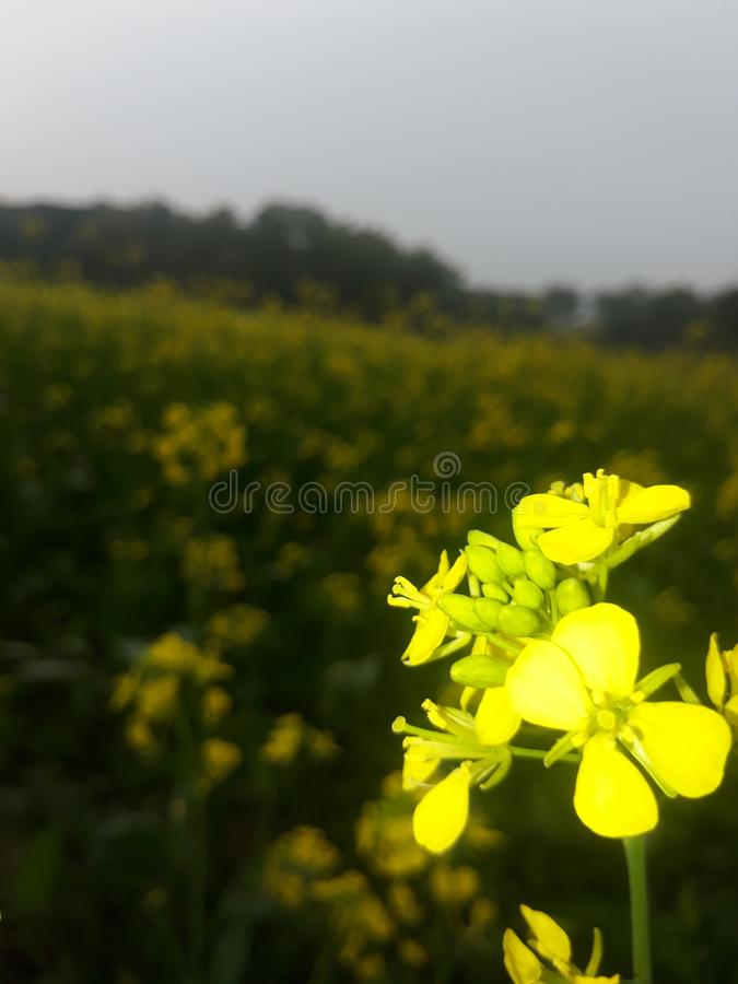 Mustard field with fresh green plants. This temple is of Lord Shiva. It is located in Siwan district of Bihar state, India. This primeval temple stock image