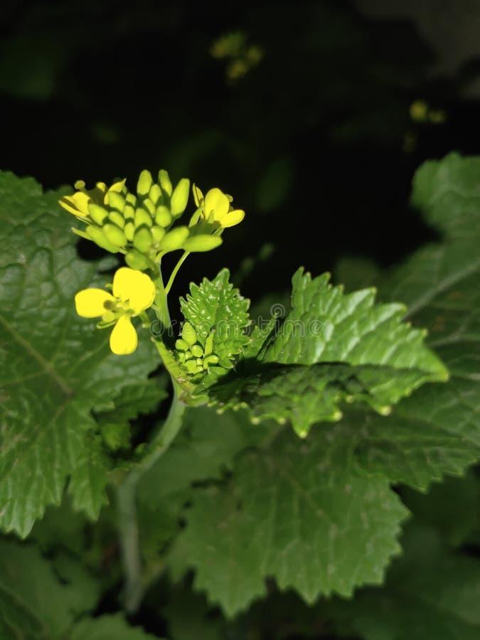 Mustard Bud Flowers Natural Petal Leaf Tree Photography ... |Mustard Tree Leaf