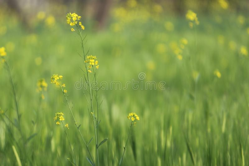 Mustard Leaves stock images