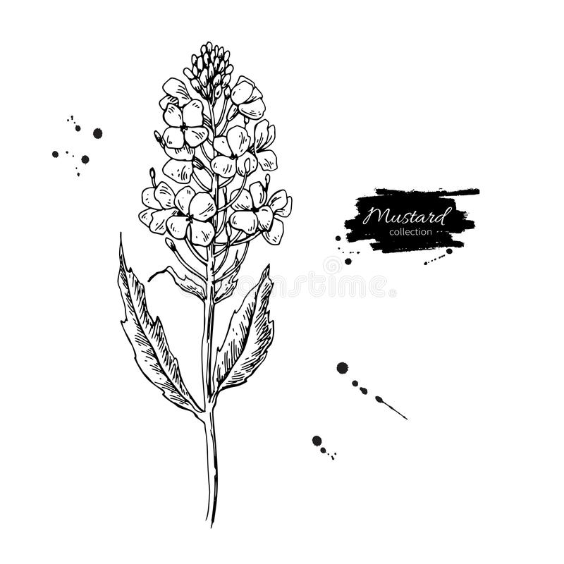Mustard plant branch vector drawing. Botanical flower illustrati. On. Vintage hand drawn spice sketch. Herbal seasoning ingredient, culinary and cooking flavor royalty free illustration