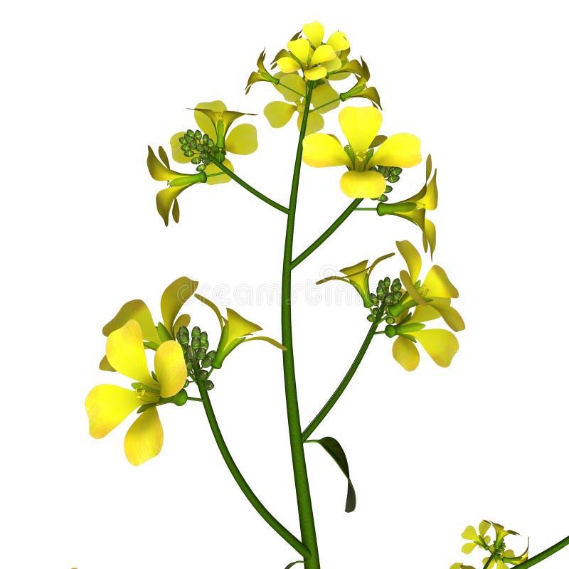download mustard plant stock illustration illustration of leaf 55400345