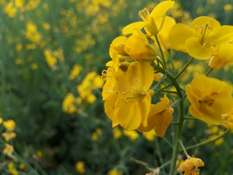 Mustard. Plant is a plant species in the genera Brassica and Sinapis in the family Brassicaceae.  seed is used as a spice. Grinding and mixing the seeds with royalty free stock images