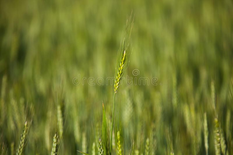 Spike of wheat crop royalty free stock photography