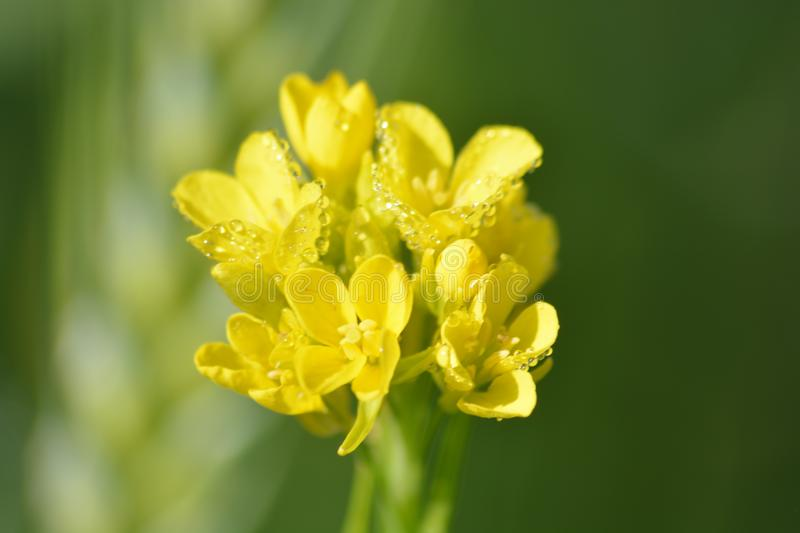 Green Mustard Plants with their Yellow flowers. Mustard plants are any of several plant species in the genera Brassica and Sinapis in the family Brassicaceae royalty free stock photography