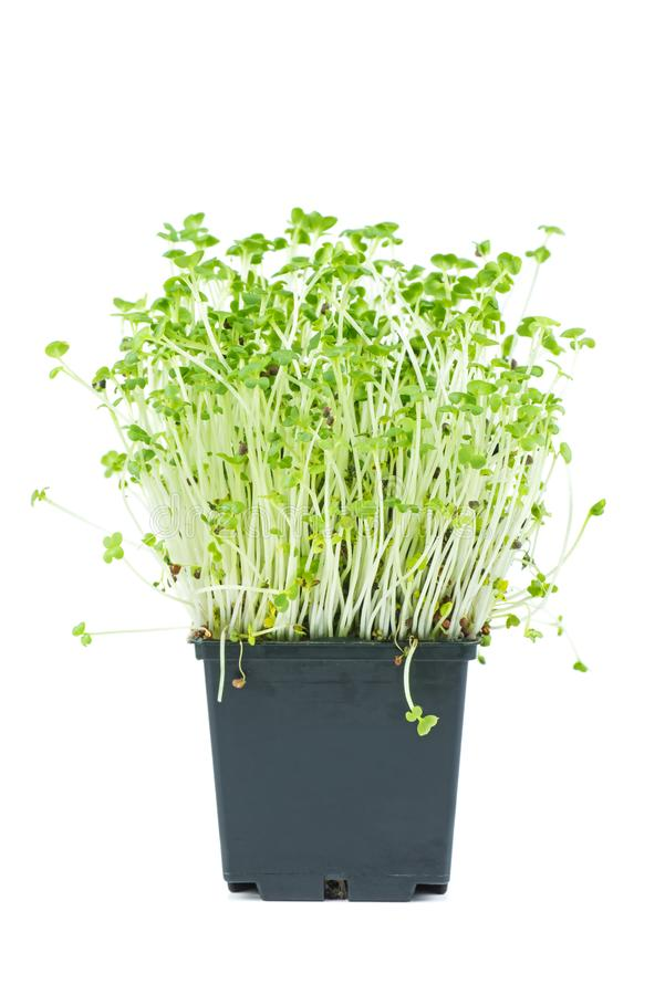 Mustard sprouts in black plastic pot isolated on white background stock images