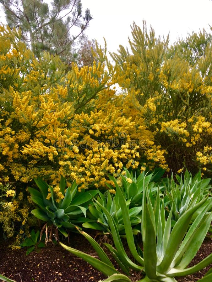 Mustard Yellow Spring Blossoms. Flowering trees show off their prolific Blossoms with aloe plants in the foreground of the garden stock photography