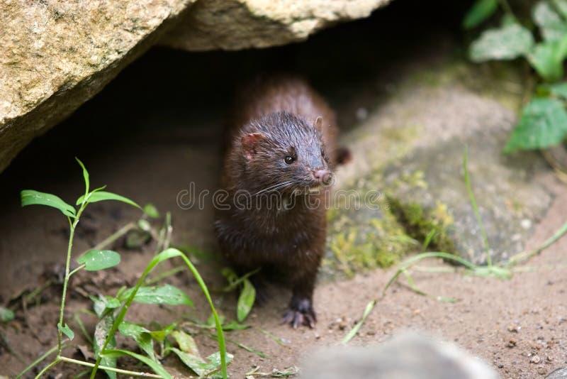 mustela vison mink dziki zdjęcie stock