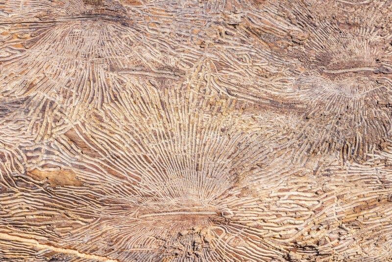 Muster auf Baumstammklotz nach dem Schaden verursacht durch Borkenk?fer Nat?rlicher h?lzerner Beschaffenheitshintergrund stockfoto