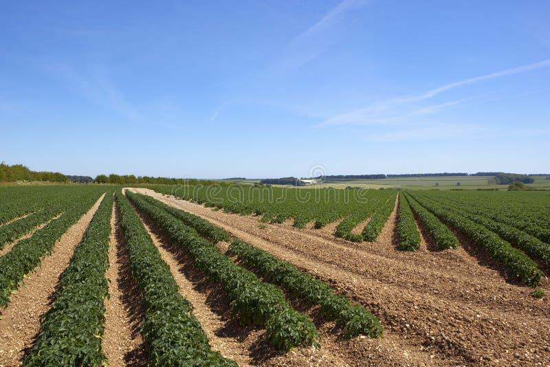 Muster und Beschaffenheiten der Kartoffel erntet in einer Patchworksommerlandschaft lizenzfreie stockfotos