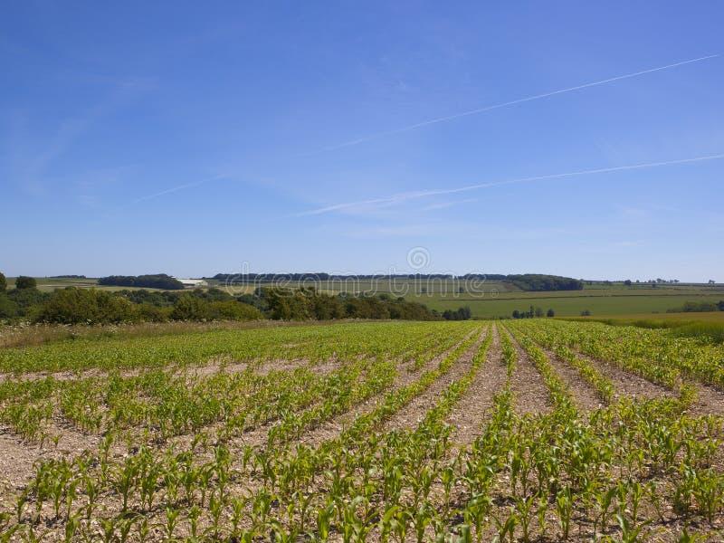 Muster und Beschaffenheiten eines jungen Mais ernten in der Sommerzeit stockfoto