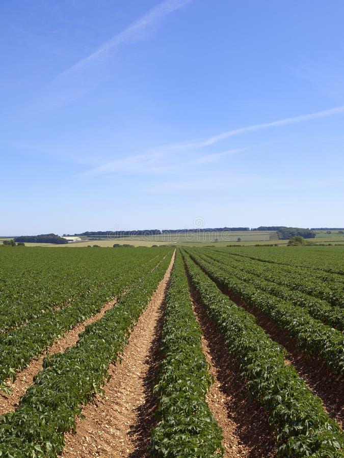 Muster und Beschaffenheiten eines Kartoffelackers in einem Sommer gestalten landschaftlich stockfoto