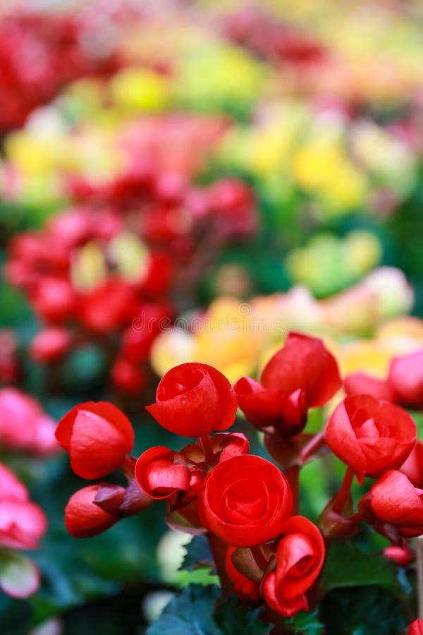 Muster von schönen natürlichen Begonienblumen lizenzfreies stockfoto