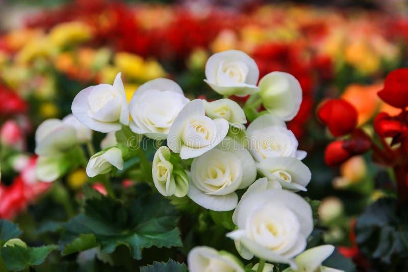 Muster von schönen natürlichen Begonienblumen lizenzfreies stockbild