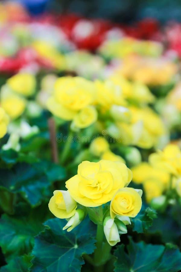 Muster von schönen natürlichen Begonienblumen stockbild