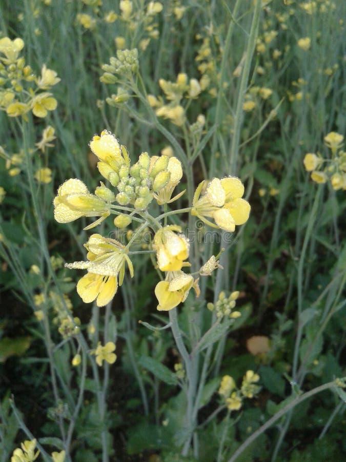 Musterd kwiat fotografia royalty free