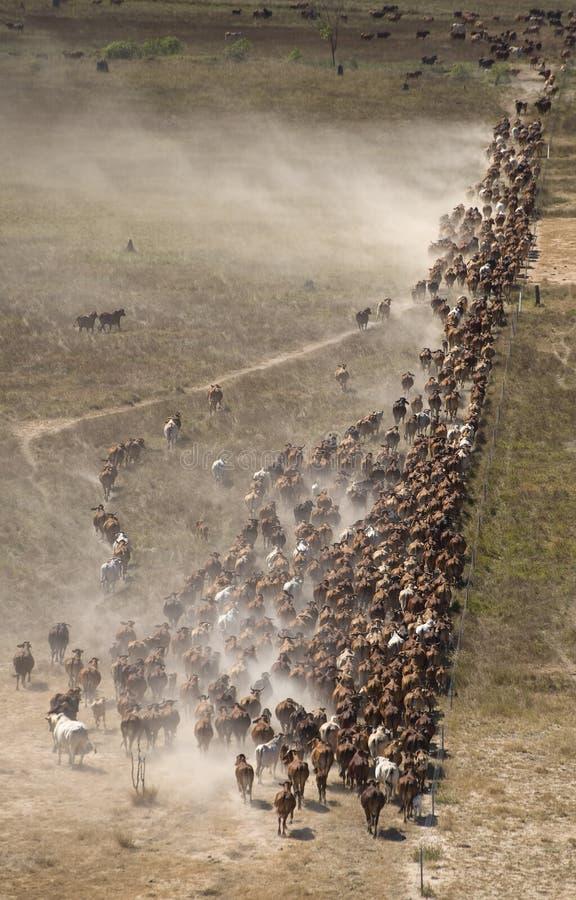 Mustering braham cattle stock photo