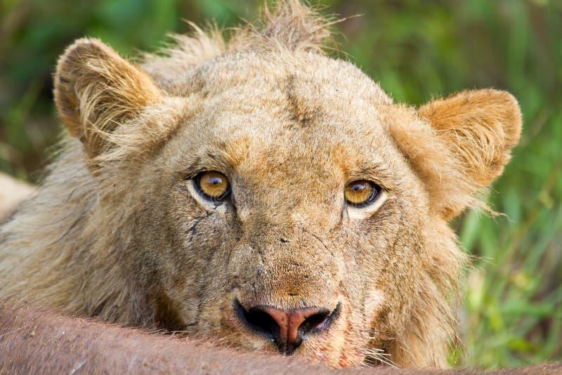 Umgekippte gelbe Augen der verärgerten Löwe-Starrenporträt-Nahaufnahme lizenzfreie stockfotos