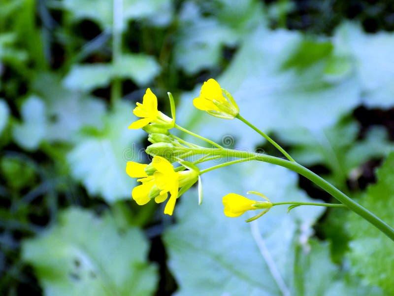 Musturd kwiatu istnych wizerunków strzały w ranku fotografia royalty free