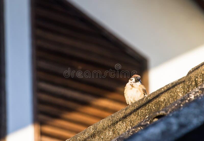 Musvogels op landbouwgrond, open gemeenschap worden gevonden die stock afbeelding