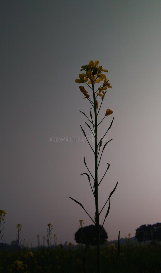 Musztarda żółci kwiaty w zima sezonie zdjęcie royalty free