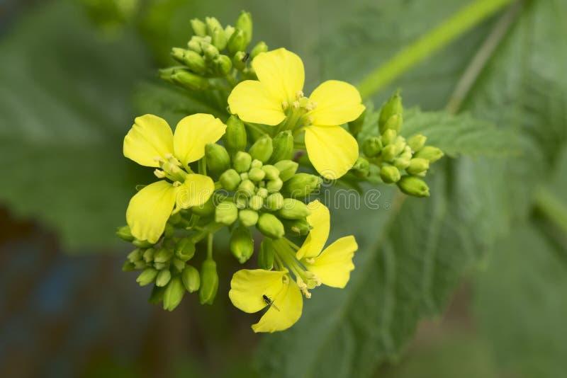 Musztarda kwiat obraz royalty free