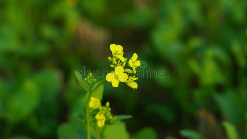 Musztarda kwiat w musztardzie uprawia ziemię z tłem obraz stock