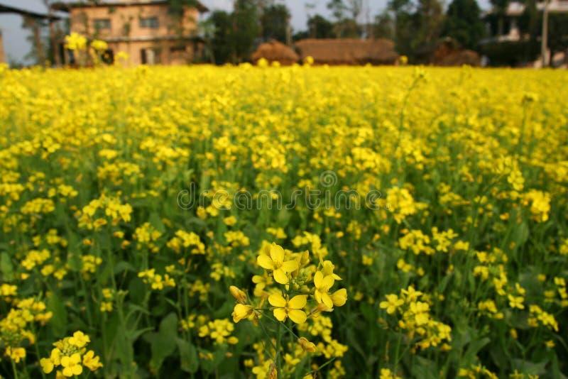 musztardy kwiatonośna roślina obraz royalty free