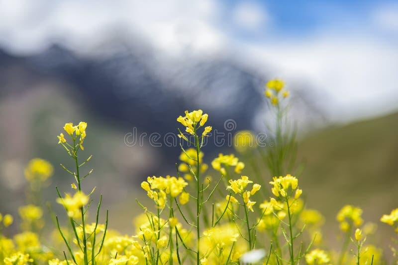 Download Musztardy Pole Z Halnym Tłem, Zdjęcie Stock - Obraz złożonej z błękitny, góra: 57674040