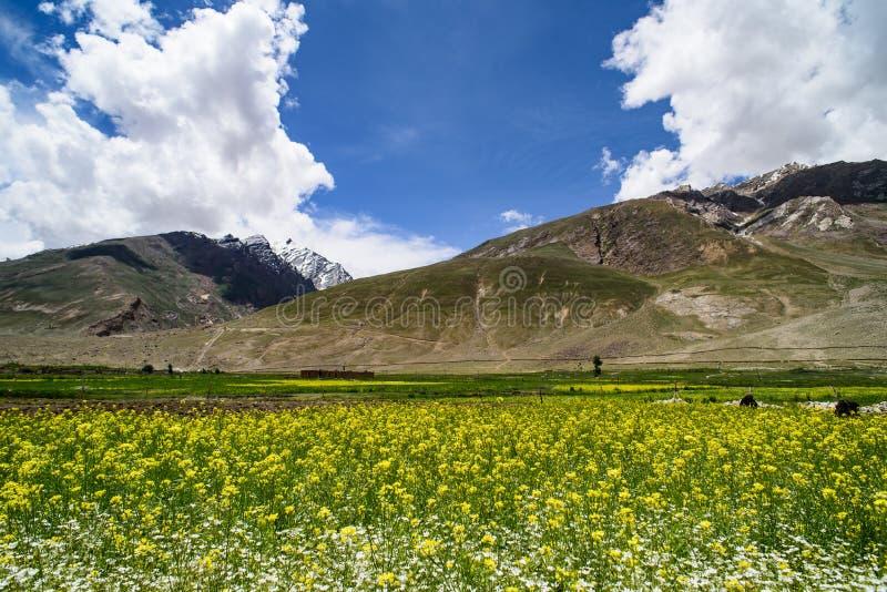 Download Musztardy Pole Z Halnym Tłem, Obraz Stock - Obraz złożonej z trawy, kwiat: 57674103