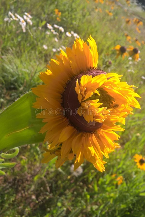 Download Mutant Sunflowers stock photo. Image of landscape, black - 94150920
