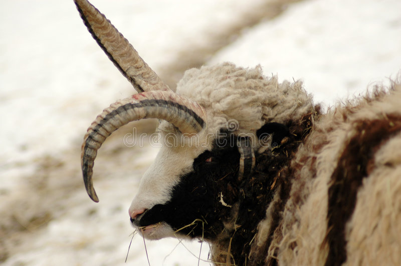 Mutation. Four-horned sheep. royalty free stock photography