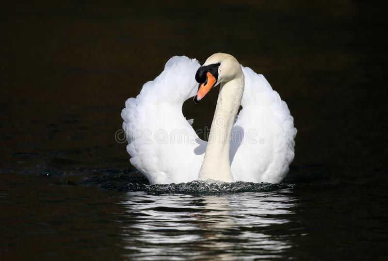 Mute male swan swimming on water royalty free stock photos