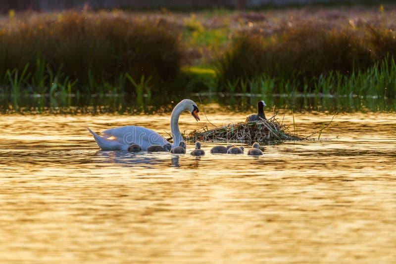 Mute o cisne (Cygnus olor) adulto com cygnets, levado pelo Reino Unido fotografia de stock