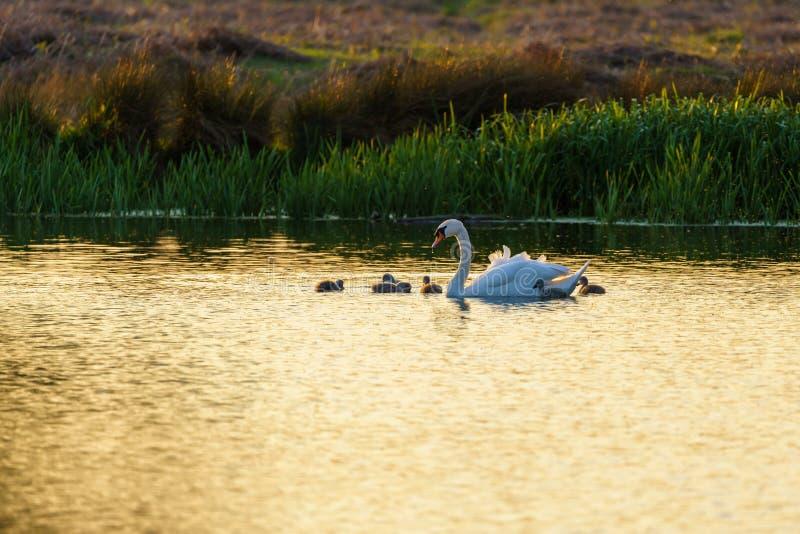 Mute o cisne (Cygnus olor) adulto com cygnets, levado pelo Reino Unido imagem de stock