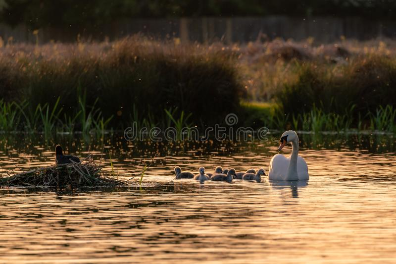 Mute o cisne (Cygnus olor) adulto com cygnets, levado pelo Reino Unido imagens de stock royalty free