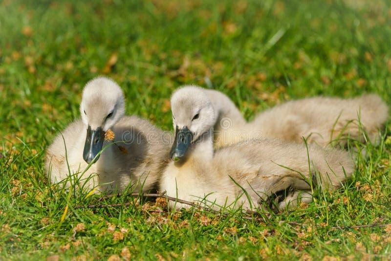 Mute o cisne (Cygnus olor) cygnets, tomado no Reino Unido foto de stock royalty free
