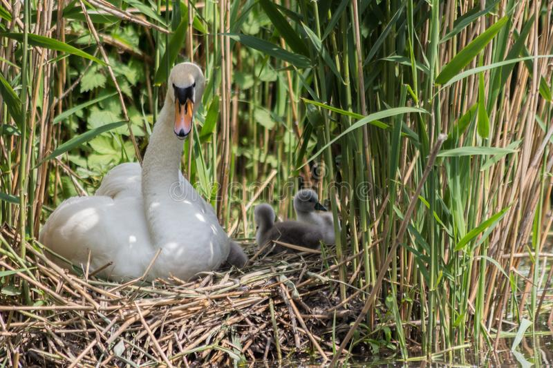 Mute swam parenting the cygnets on the nest. Mute swan looking  his offspring. Swans mate for life and the male takes part in parenting the young cygnets stock photos