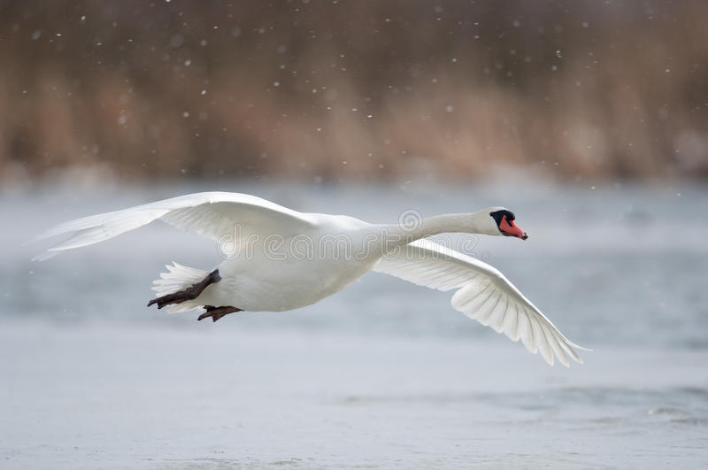 Mute swan. Flying over a lake royalty free stock photography